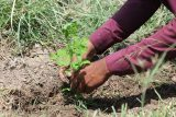 Moringa 'superfood' plantation drive seeks to curb malnutrition in rural Sindh